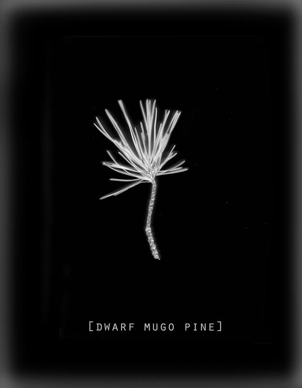 Pine.web